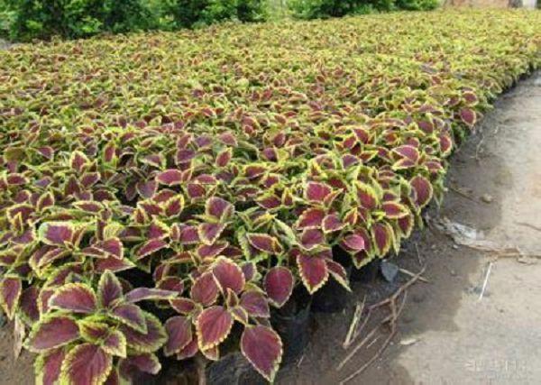 彩葉草種子怎么種