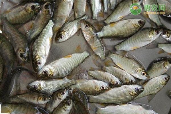 巴西鯛的市場價格多少錢一斤?養殖前景如何?