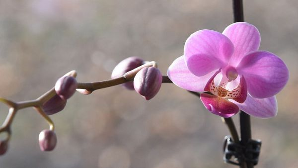 蝴蝶蘭盆栽好養嗎