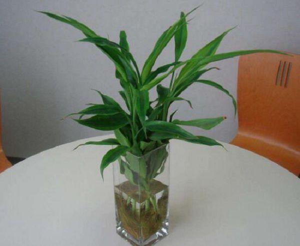 新買的富貴竹怎么水養,水養富貴竹小技巧
