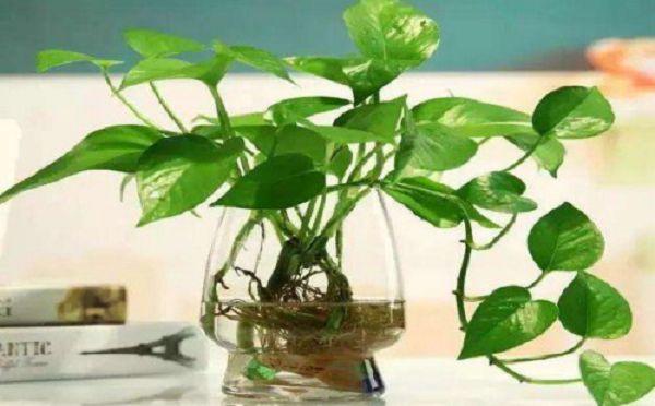 土養綠蘿怎樣變水養