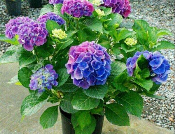怎么在陽臺或庭院養繡球花?