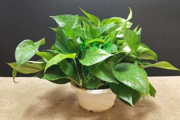 綠蘿的繁殖方法和注意事項,水培或土培扦插