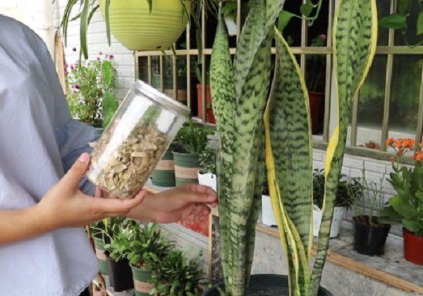 虎皮蘭怎么養發芽多