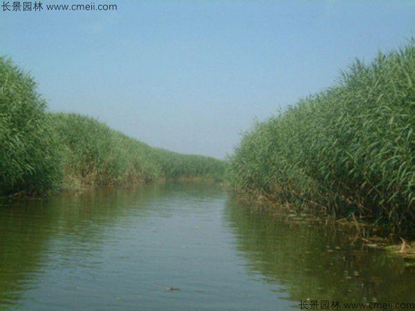 芦苇可以在南方种植吗?