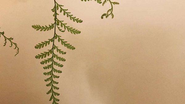 狼尾蕨修剪叶子的方法