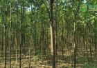 楸树价格多少钱一棵?楸树的种植前景如何?