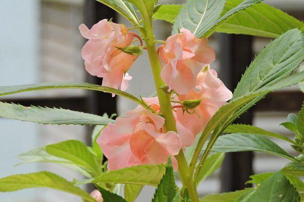 凤仙花几月份种植最好,要怎么种植