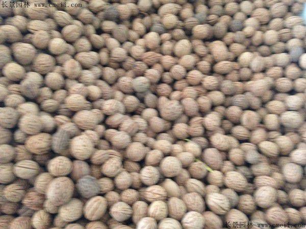 山桃种子怎么催芽最有效?