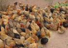 黄凤鸡的养殖前景如何?黄凤鸡养殖具有哪些特点?