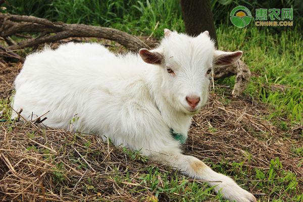 四川养羊的利润与成本分析