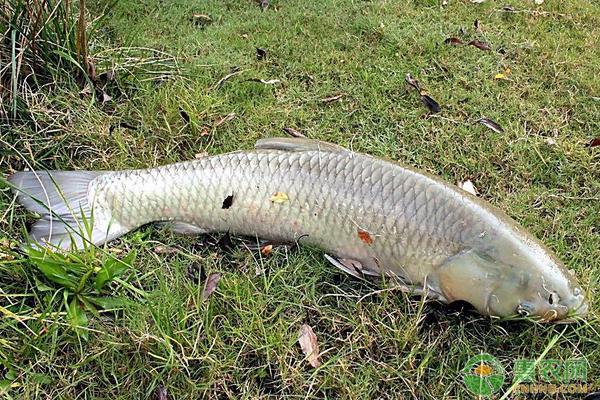 10亩草鱼一年能挣多少?(附养殖成本分析)