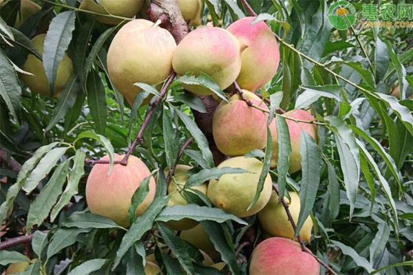 鹰嘴桃价格多少钱一斤?种植前景如何?
