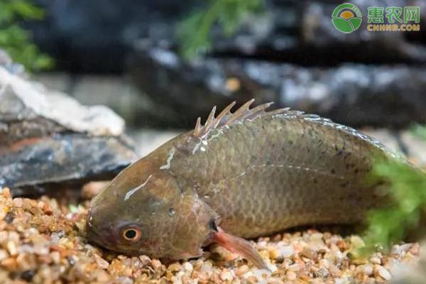 攀鲈鱼多少钱一斤?攀鲈鱼养殖前景分析