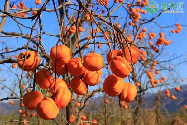 2020年柿子价格多少钱一斤?柿子种植成本及利润分析