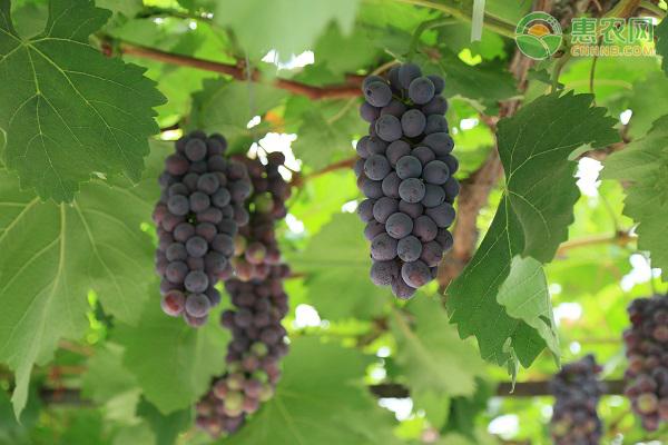 大棚种植葡萄成本每亩多少钱?利润如何?