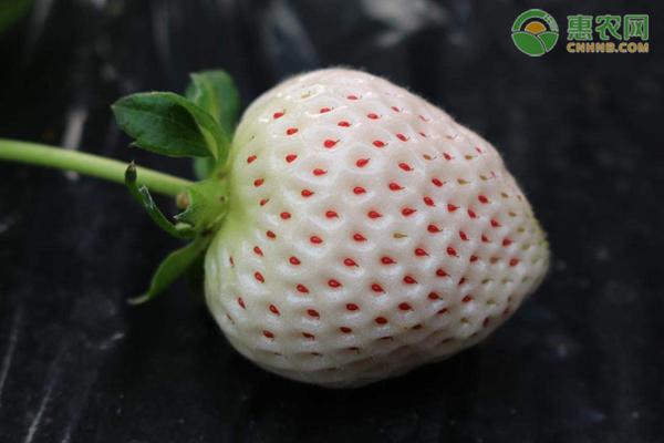 2020白草莓苗价格多少钱一株?白草莓种植前景分析