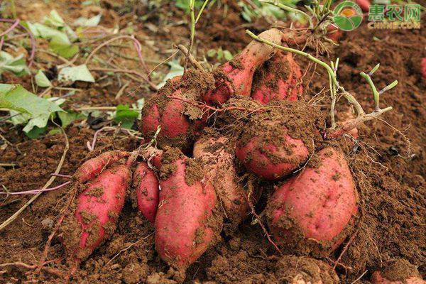 2020年红薯价格多少钱一斤?红薯种植利润如何?