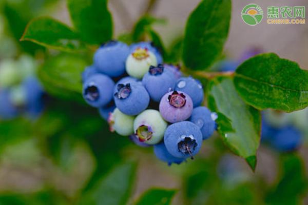 2020年蓝莓价格多少钱一斤?蓝莓种植前景怎么样?