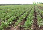 种植一亩板兰根的成本与利润分析