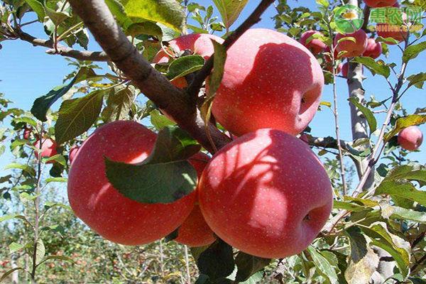 2020年苹果价格多少钱一斤?苹果种植成本利润分析