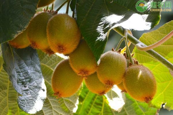 红心猕猴桃价格多少钱一斤?红心猕猴桃种植赚钱吗?