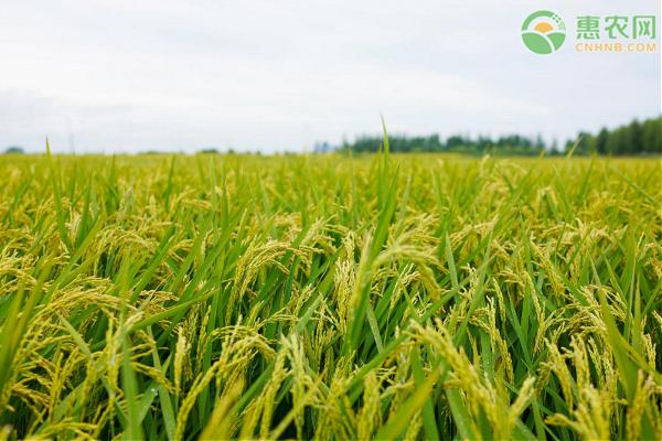 稻谷种植一亩多少成本?利润是多少?