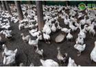 适合农民养殖的三大品种鹅