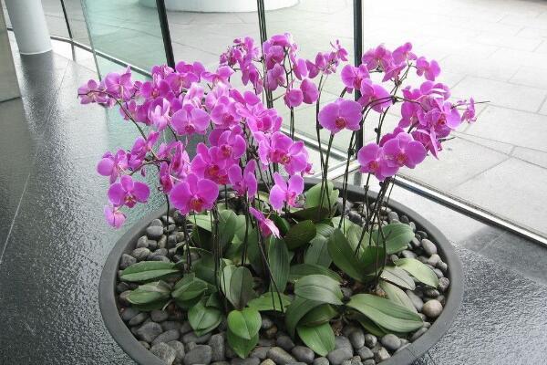 蝴蝶兰简易养法,蝴蝶兰最简单的养殖方法