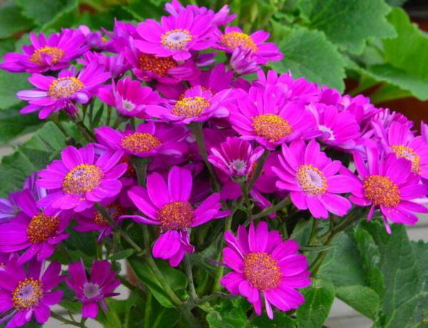 瓜叶菊的生长习性