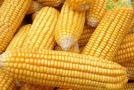 玉米价格还会继续上涨吗?玉米价格为何会上涨?