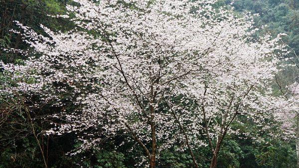 樱花树栽培技术与管理