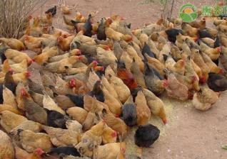 产蛋量最高的土鸡品种有哪些?