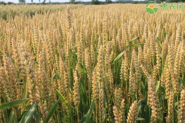 江苏今年小麦价格是多少钱一斤?小麦价格为何上涨?