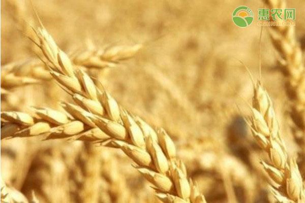 2021元旦假期前后小麦价格是涨是跌?