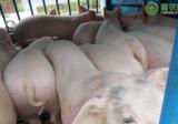 2021年生猪价格行情如何?生猪价格还要涨多久?