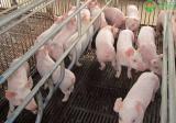 2021年猪仔价格多少钱一只?猪仔价格为何上涨?