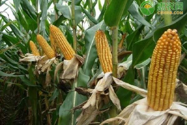 玉米价格多少钱一斤?2021年4月13日玉米价格最新行情