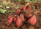 好吃的红薯品种有哪些?